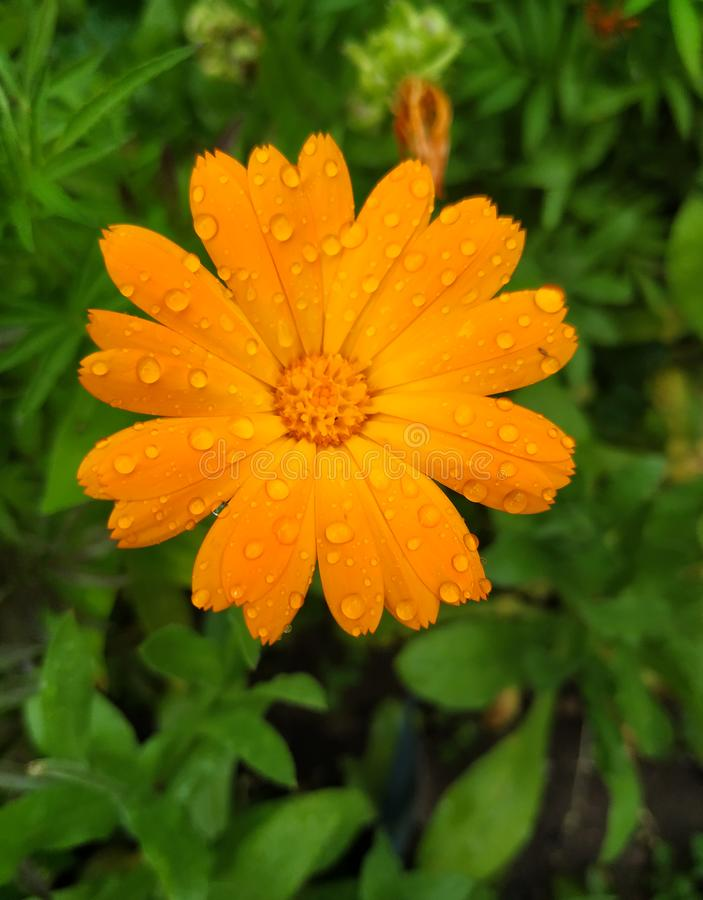 Orange Pot Marigold flower head with drops of water on petals on green meadow background stock photo