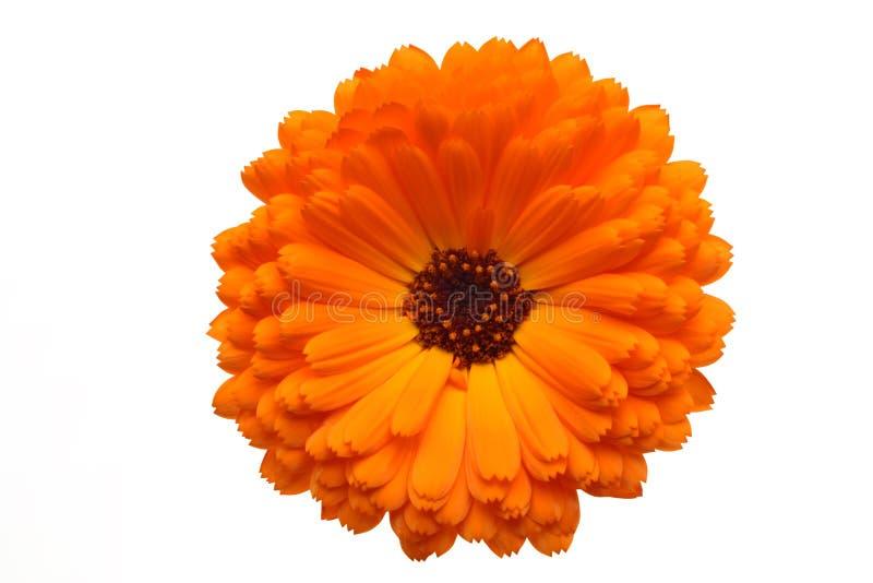 Orange Pot Marigold Flower. Isolated on White stock photography