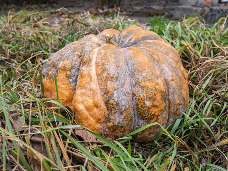 Orange pumpkin on the grass royalty free stock photos