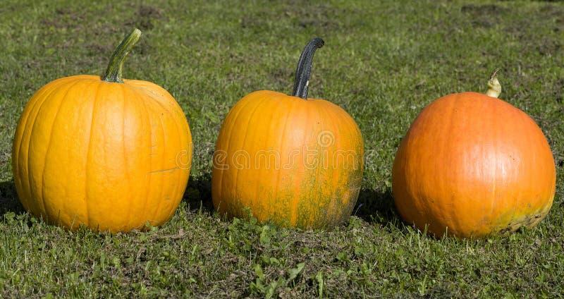 Orange pumpkin on the green grass in the farm royalty free stock photos
