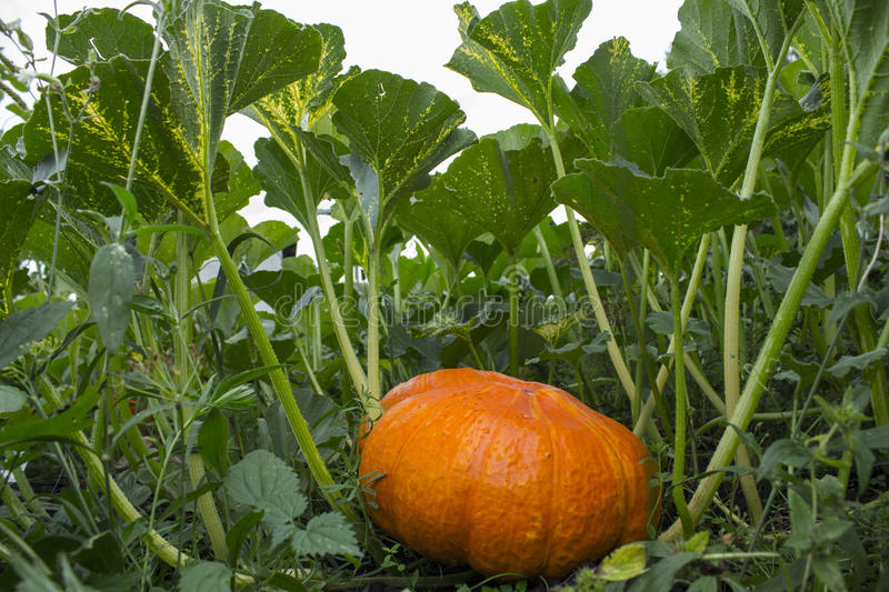 Orange pumpkin in the green grass stock photography