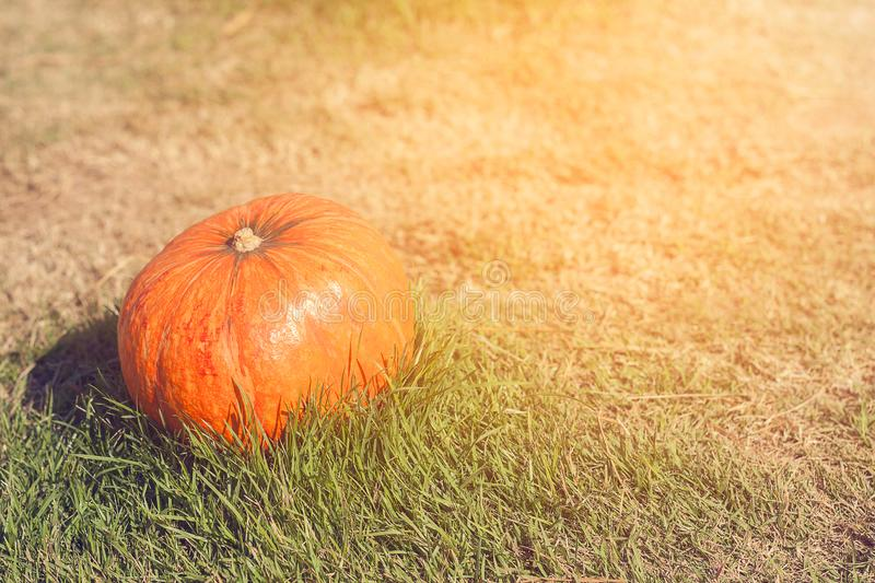 Orange pumpkin in green grass sun bright stock photos