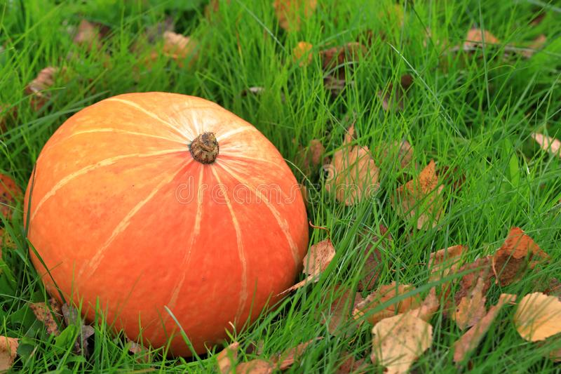 Orange pumpkin lies on the green grass. Halloween holiday royalty free stock photography