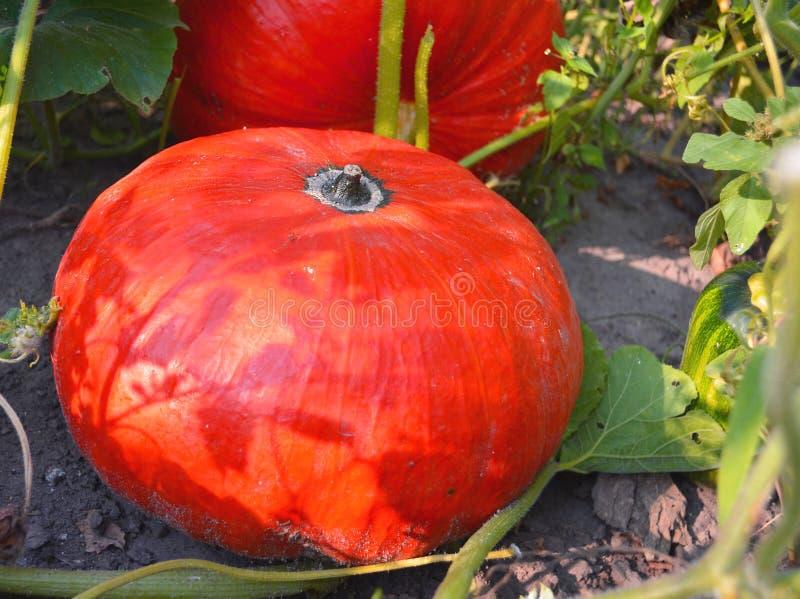 Orange pumpkins in the field. Pumpkin Patch. Nutmeg pumpkin for porridge royalty free stock images