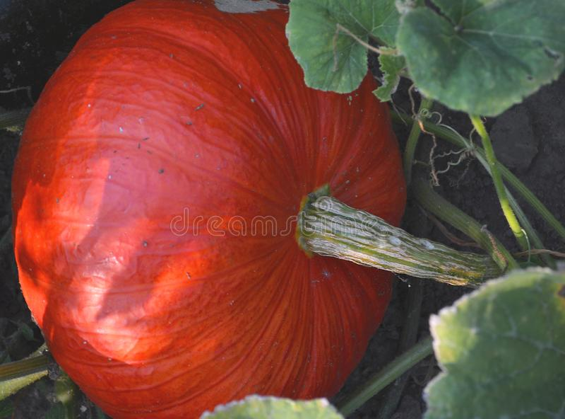 Orange pumpkins in the field. Pumpkin Patch. Nutmeg pumpkin for porridge royalty free stock photography