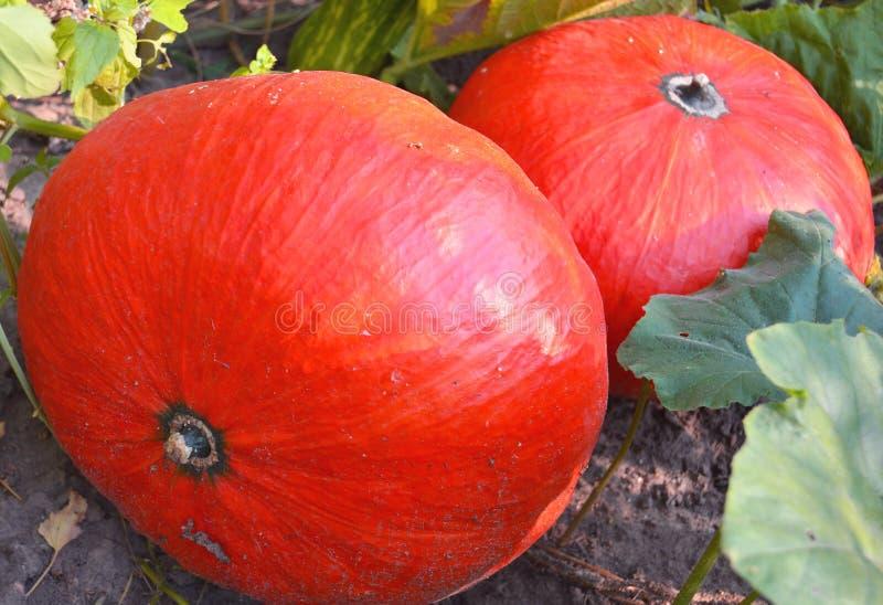Orange pumpkins in the field. Pumpkin Patch. Nutmeg pumpkin for porridge stock photo