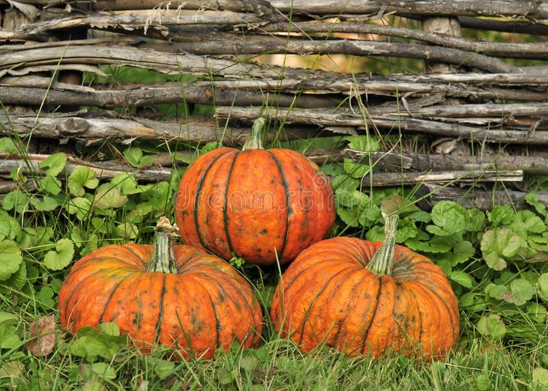 Orange pumpkins for Halloween lie on the grass, near the beautiful wooden wicker fence stock photography