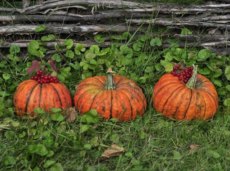 Orange pumpkins for Halloween lie on the grass, near the beautiful wooden wicker fence stock photos