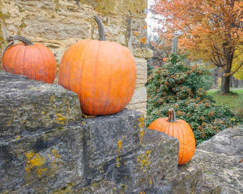 Orange Pumpkins on Stone Stairway with Orange Fall Tree. Three orange pumpkins on a stone stairway with an orange fall tree in the background