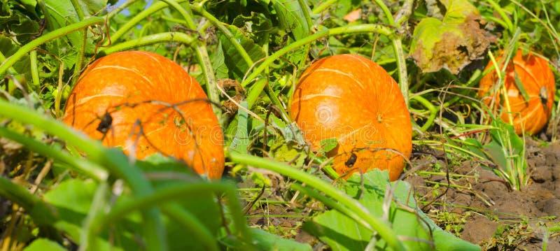 Orange pumpor p? den utomhus- bondemarknaden patch pumpa royaltyfri fotografi