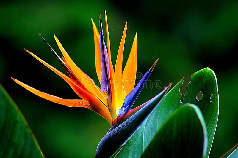 free public domain cc0 image orange and purple birds of paradise