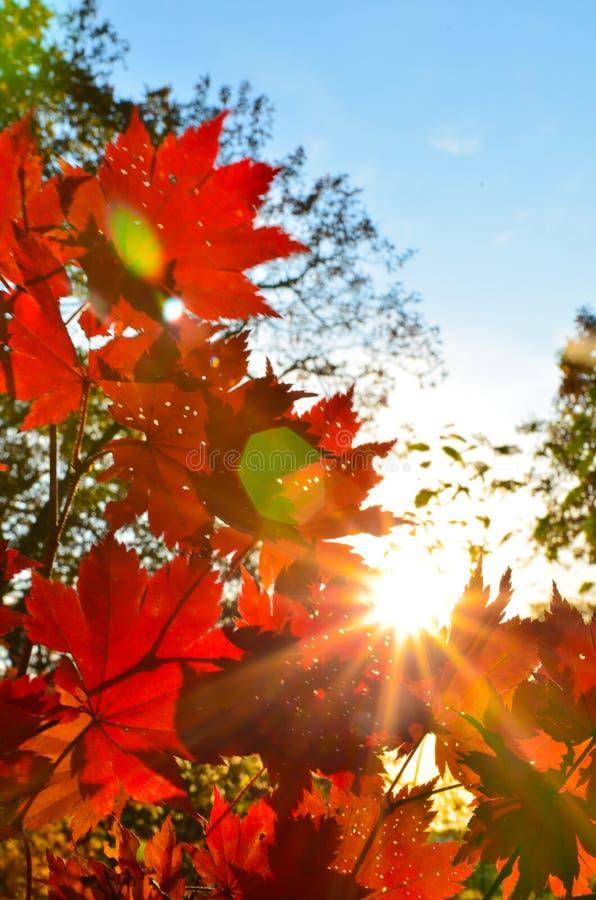 Orange röd bladhöst, orange sol- träd filialen, lönnlöv, Primorsky Krai royaltyfri bild