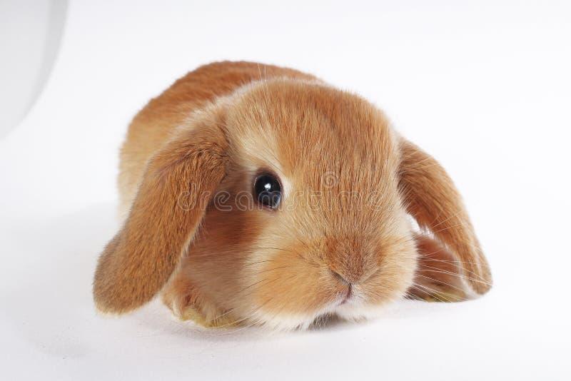 Orange rabbit lop bunny dwarf baby rabbits on white background. Bunnies stock photography