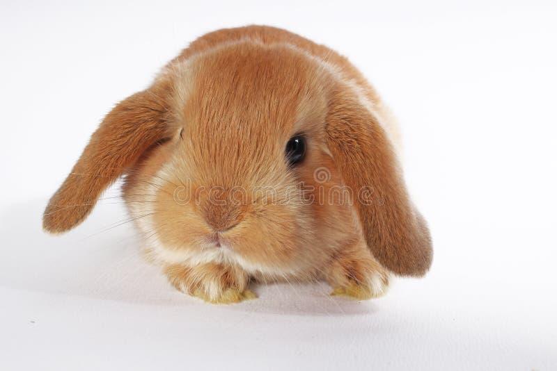Orange rabbit lop bunny dwarf baby rabbits on white background. Bunnies royalty free stock image