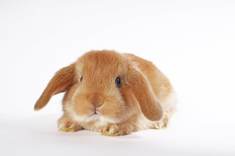 Orange rabbit lop bunny dwarf baby rabbits on white background. Bunnies royalty free stock photo