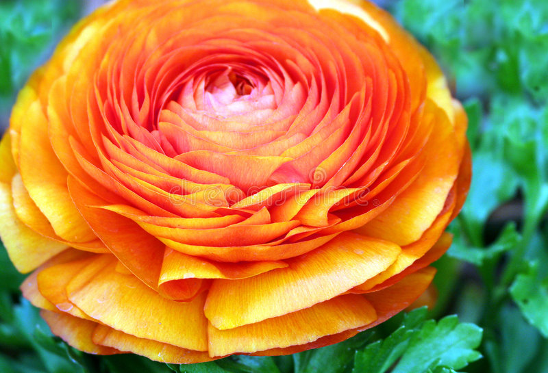 Orange Ranunculus. Blossom Close Up Detail royalty free stock photo