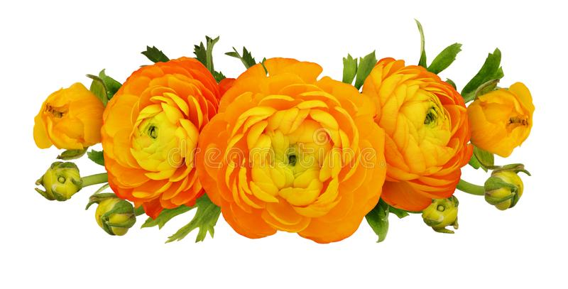 Orange ranunculus flowers and leaves composition. Isolated on white royalty free stock photos