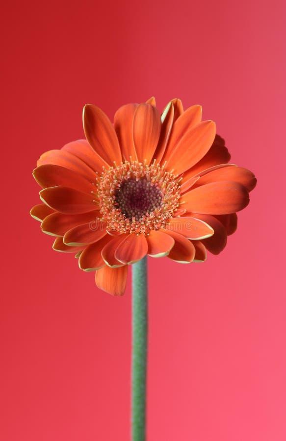 Download Orange red stock image. Image of bright, stalk, gerbera - 113473