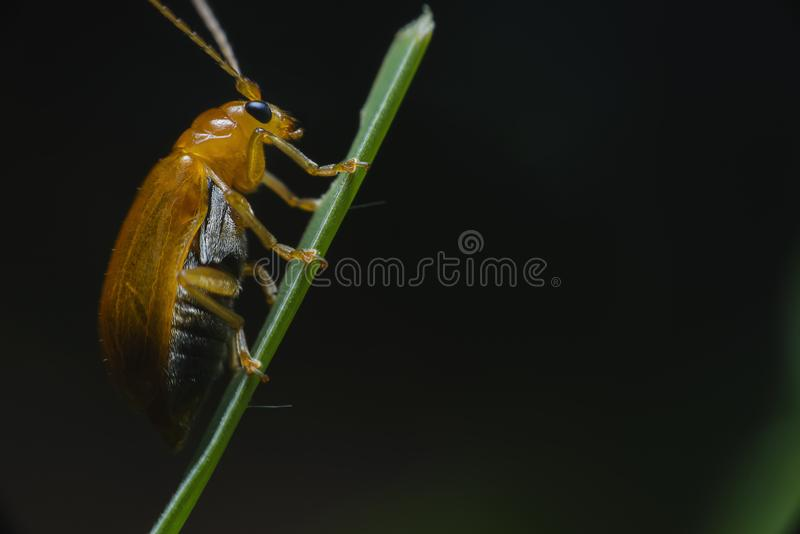 Orange,red beetle with a beautiful color grasping the green leaves in the natural garden stock image