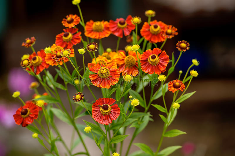 Orange and red color flowers on dark background royalty free stock photos
