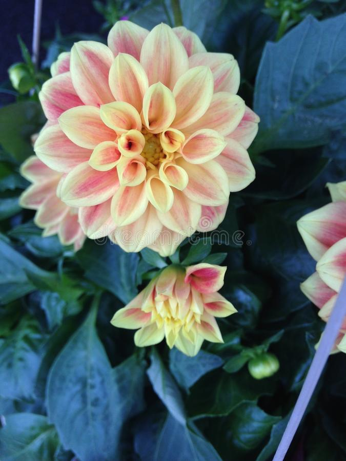 Orange and Red Dahlias royalty free stock images