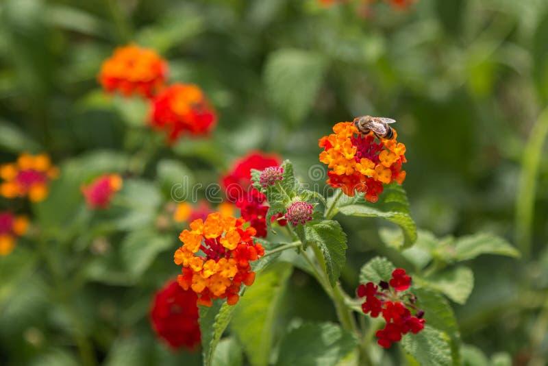 Orange and Red Flower Lantana Camara. Derie royalty free stock photo