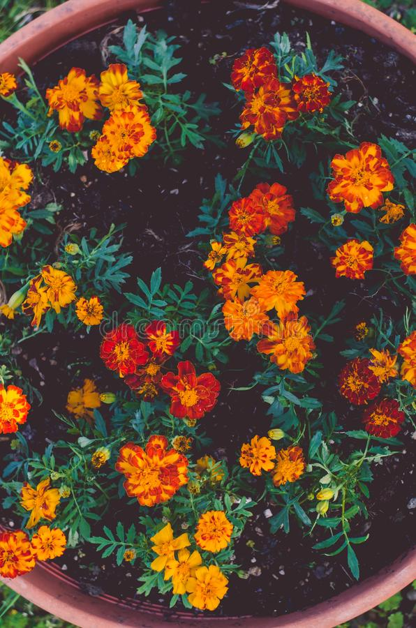 Orange french marigold. Orange red french marigold flowers royalty free stock photography