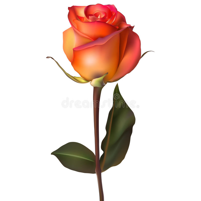 Free Orange Red Rose. EPS 10 Royalty Free Stock Photos - 56336018