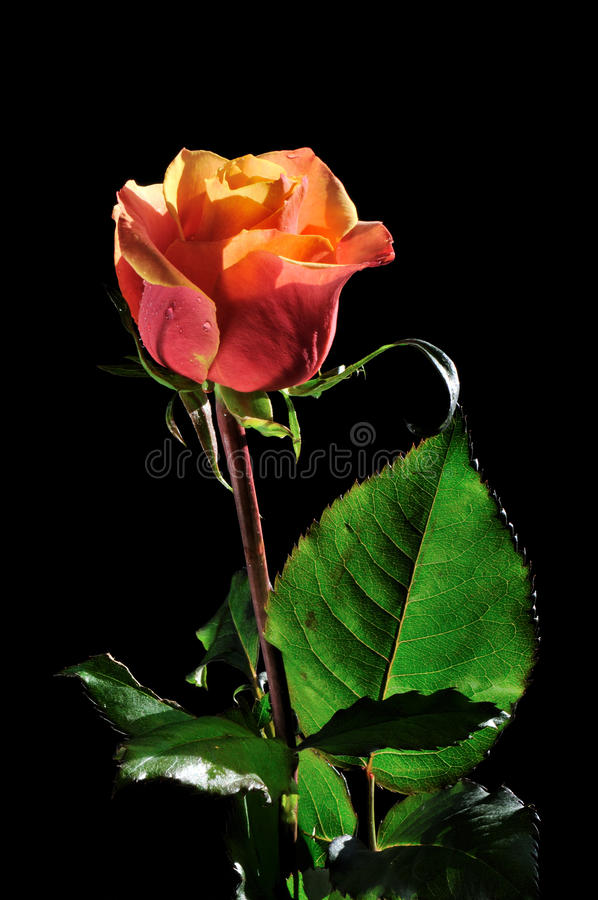 Free Orange Red Rose On Black Background Stock Images - 22059244
