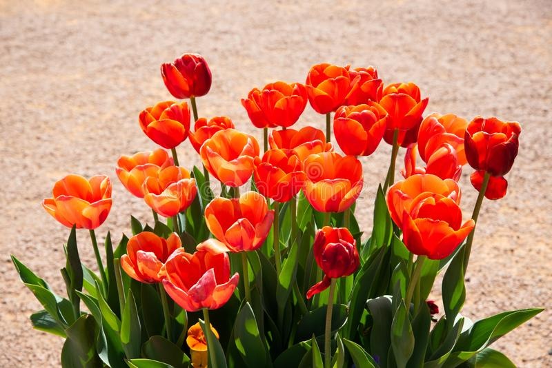 An Orange Red Tulip flower isolated with brown sand colour background at a botanical garden in a spring season of Australia. stock image