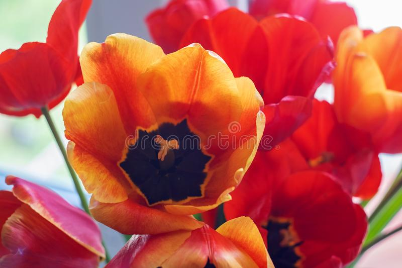 Orange and red tulips on a flowerbed stock photography