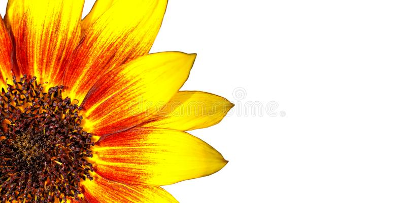 Sunflower isolated on white: orange, red and yellow flame sunflower macro photo with intense bright colours as frame border royalty free stock photos