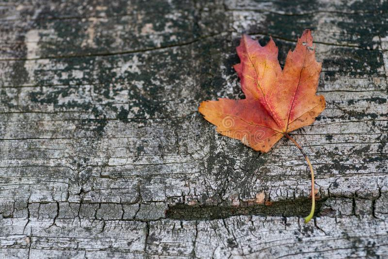 Orange reddish autumn single Maple Leaf on natural old wood. Fall season motive. Back to Nature concept. With copy space. Blank for text royalty free stock image