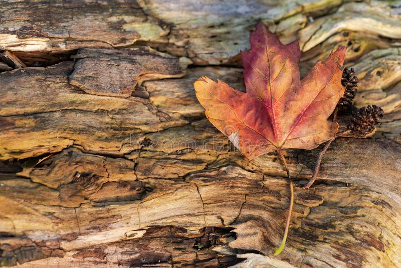Orange reddish autumn single Maple Leaf on natural old wood. Fall season motive. Back to Nature concept. With copy space. Blank for text stock photos