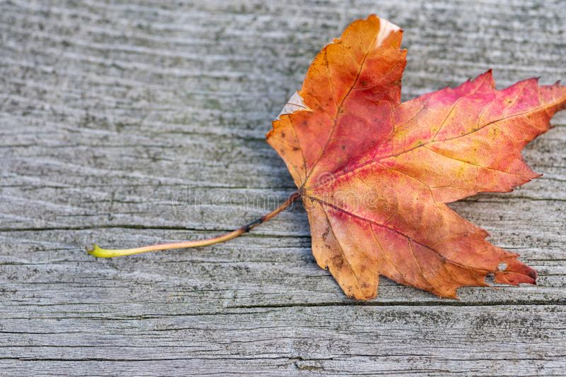 Orange reddish autumn single Maple Leaf on natural old wood. Fall season motive. Back to Nature concept. With copy space. Blank for text royalty free stock images