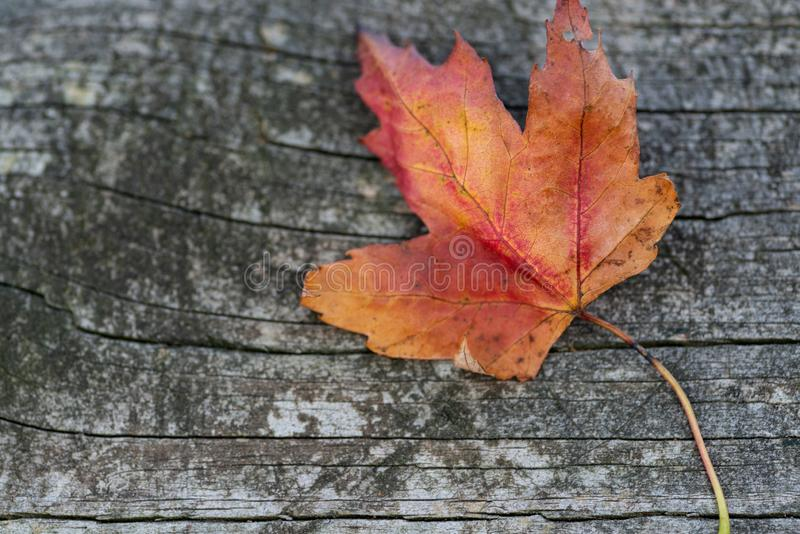 Orange reddish autumn single Maple Leaf on natural old wood. Fall season motive. Back to Nature concept. With copy space. Blank for text stock images