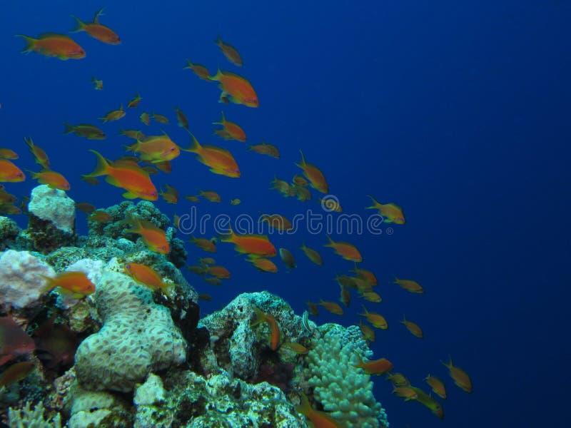 Orange reef fish stock image