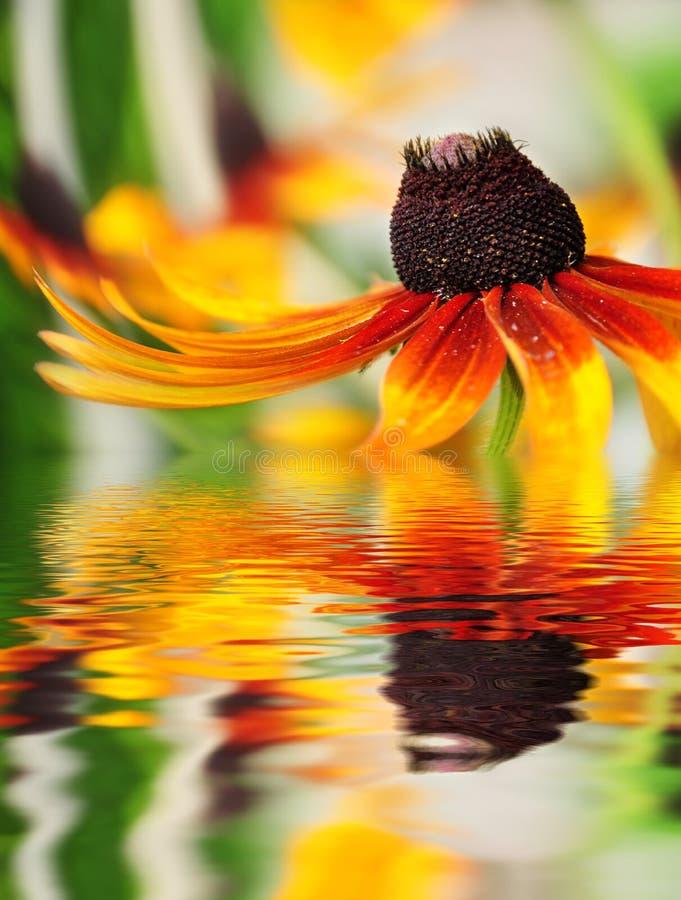 orange reflekterat vatten för closeupblomma arkivbild