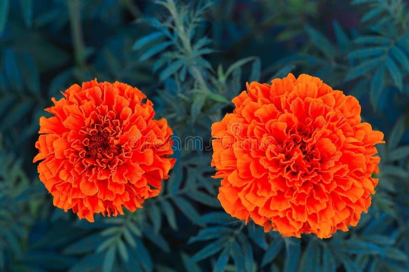 Orange ringblomma, Pune arkivfoto