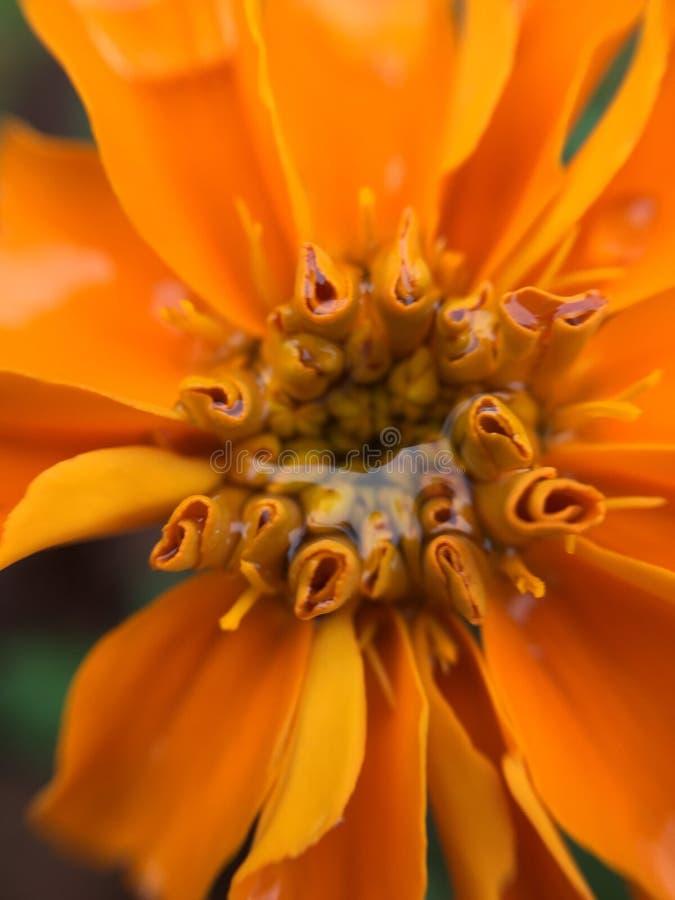 Orange ringblommar royaltyfri fotografi