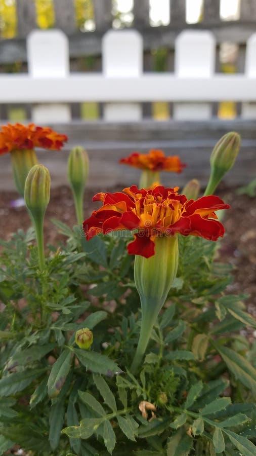 Orange ringblommar royaltyfria foton