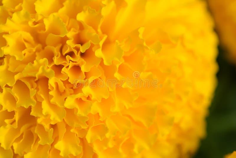 Orange ringblommor blommar f?lt arkivbild