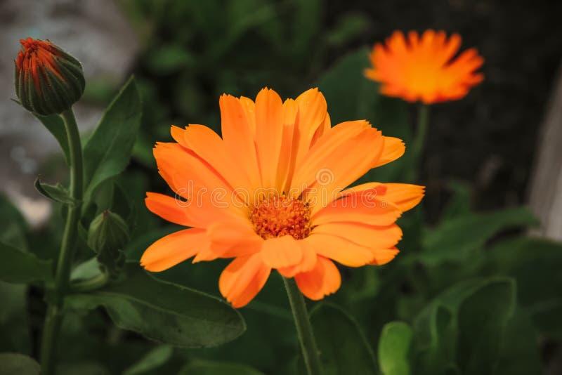 Orange ringblommor blommar i trädgården royaltyfria bilder