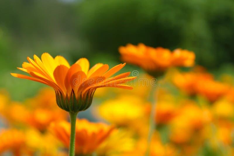 Orange Ringelblumeblumen auf Unschärfewiesenhintergrund Calendula officinalis Heilpflanze stockbild