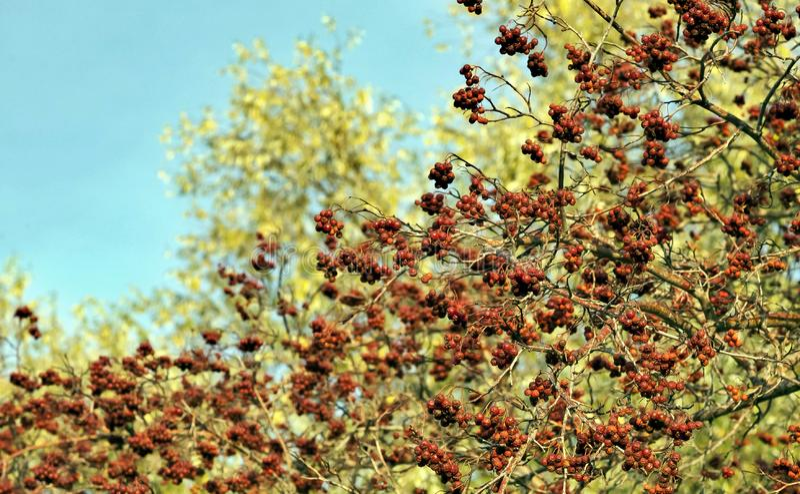 Orange ripe hawthorn berries on a Bush stock photography