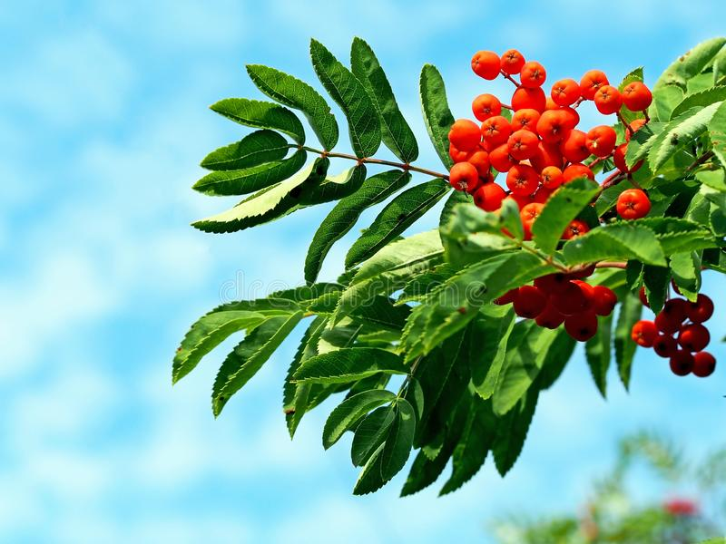 Orange ripe mountain ash with green leaves against the blue sky. In the early morning royalty free stock image