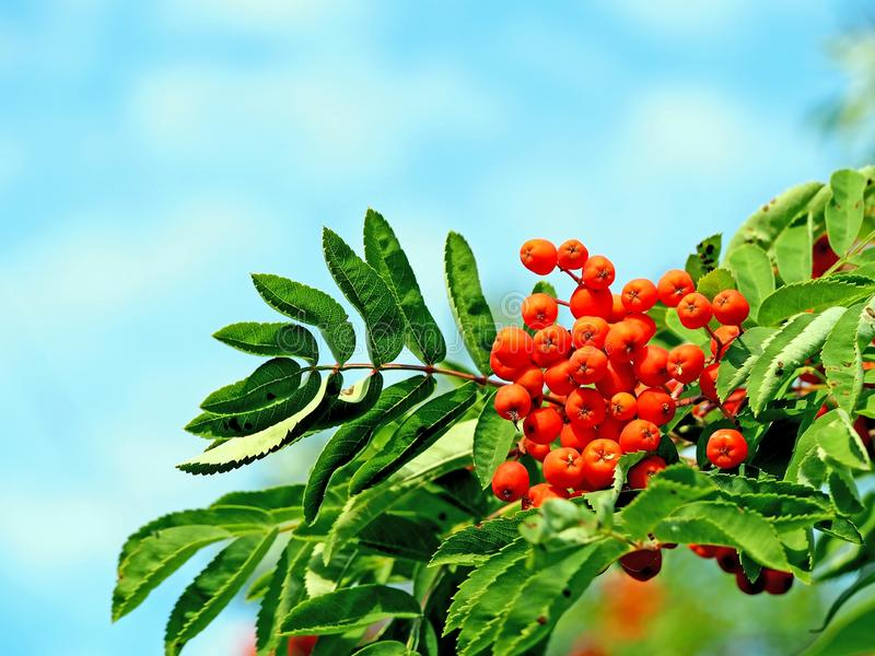 Orange ripe mountain ash with green leaves against the blue sky. In the early morning royalty free stock images