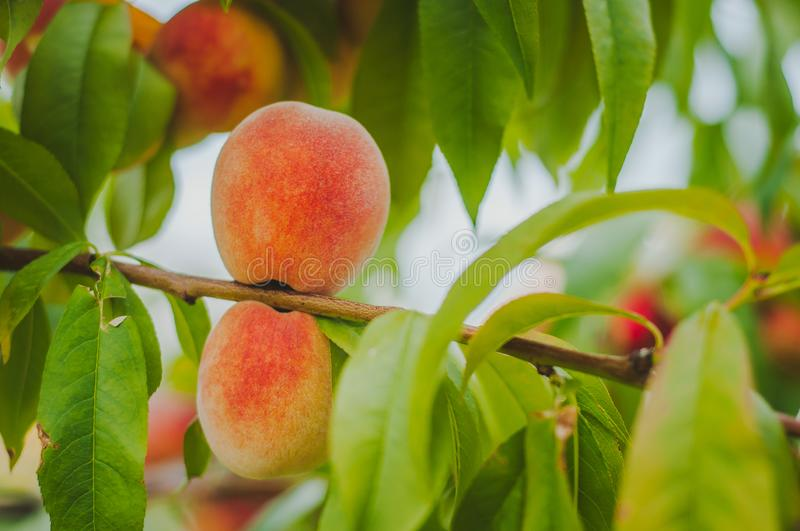 Orange ripe peach grows on a tree. Home production. environmentally friendly product with vitamins.  royalty free stock photography