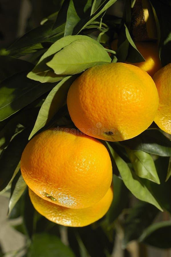 Orange ripening on the tree stock photography