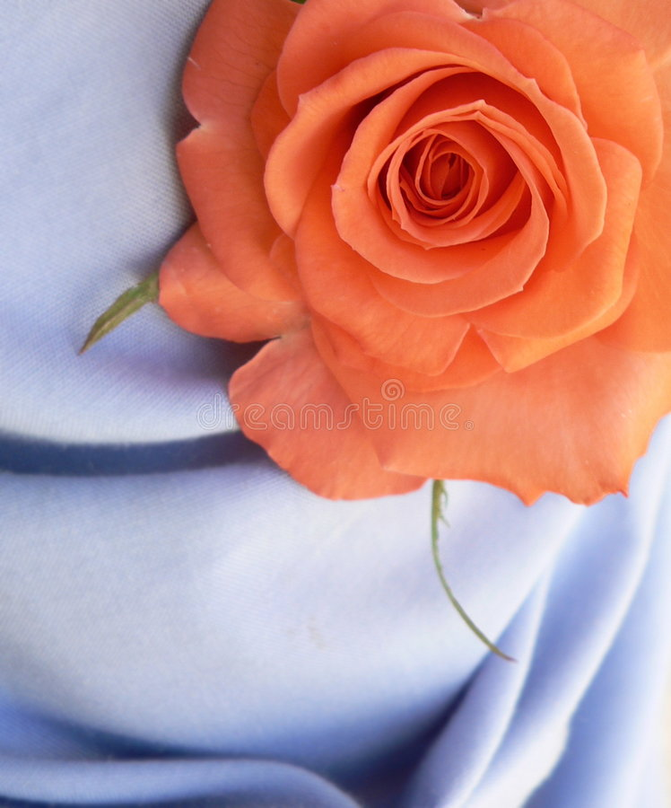 Orange Rose. In studio. Conceptual shot for love and beauty, can be a good background stock photos